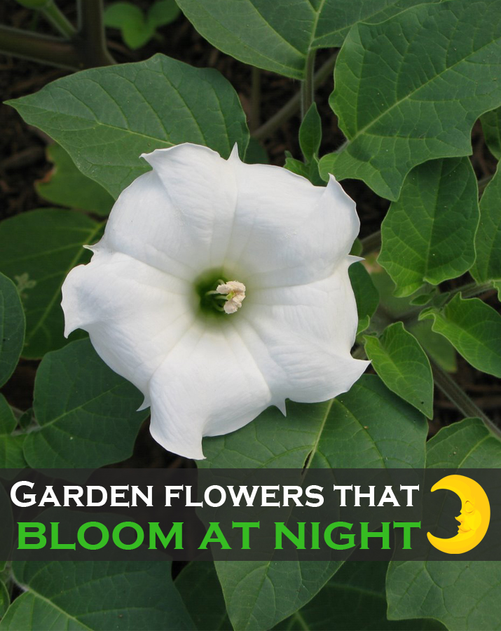 Garden Flowers That Bloom At Night Green Leaf Tips