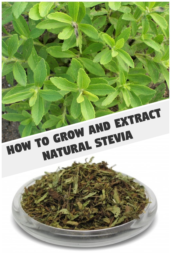 Growing Stevia How To Plant Grow And Harvest Stevia: How To Grow And Extract Natural Stevia